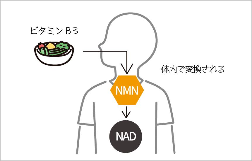 ビタミンB3がNMNに変換されてNADになる
