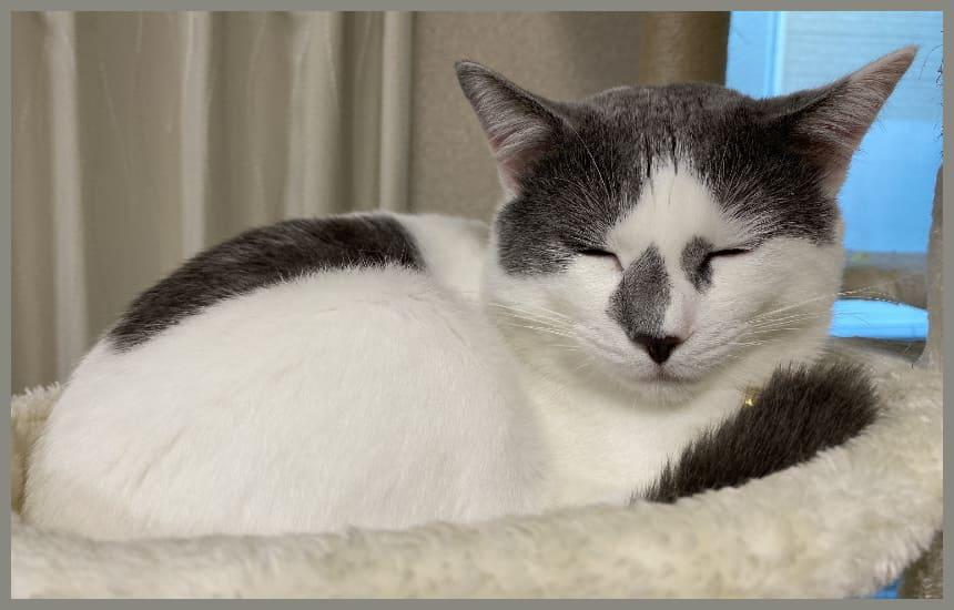 カナガンデンタルキャットフードを食べてキャットタワーで寝ている猫
